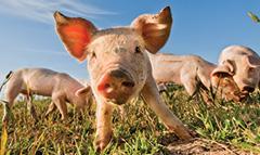 Premium Pork